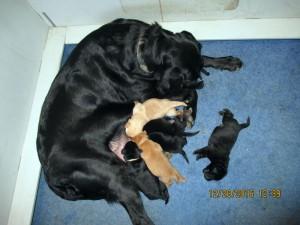Black Labrador, Charlotte, new pups at Albemarle Kennels