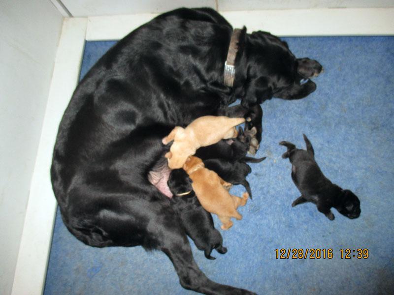 Albemarle Kennels, Black Labrador Breeder, Grandy NC