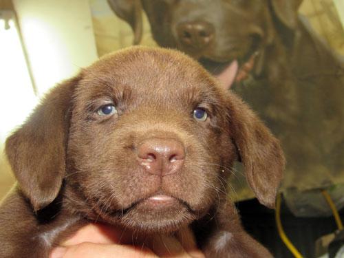 Destiny Female #5 Chocolate Lab Pup