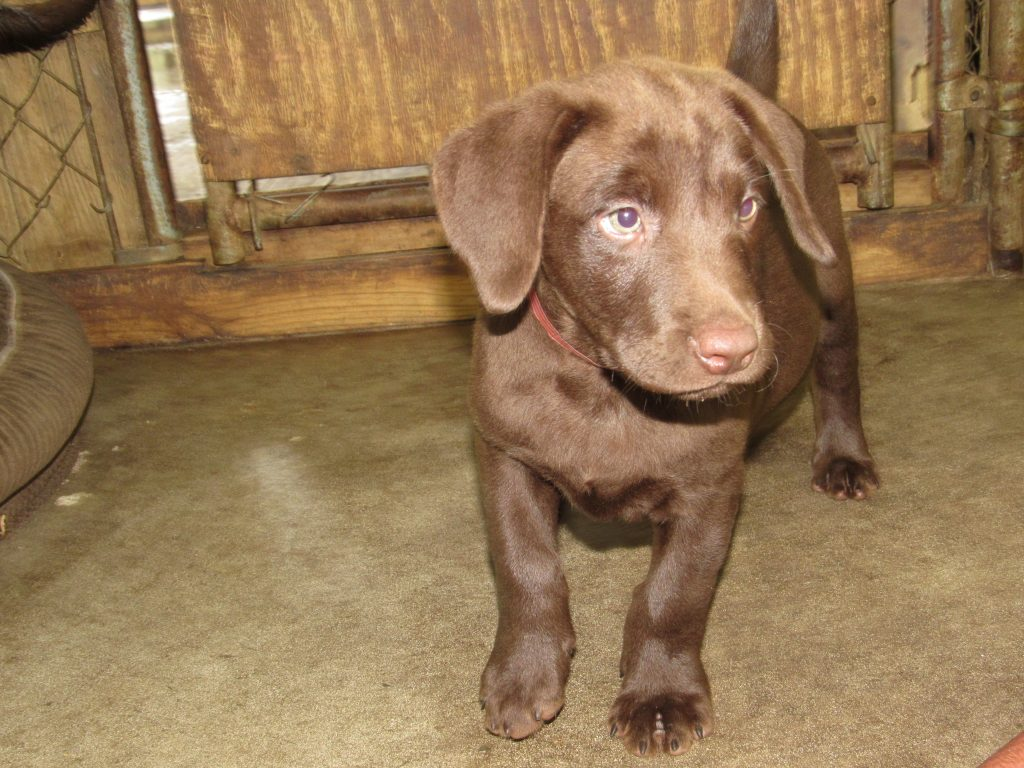 Destiny/Duke Pup Available Female #2