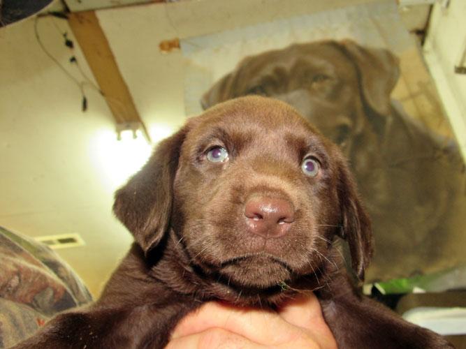 Destiny Pup MALE #2, Hershey-Frank Saulle-Kill Devil Hills, N.C.
