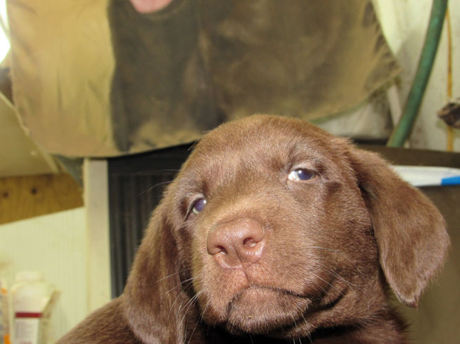 Destiny Pups - FEMALE #3, Destiny/Duke's Chocolate Pups Ready for New Homes May 29th